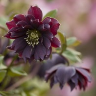 Harvington Hellebores