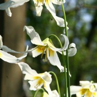 Erythronium 'Harvington Snowgoose'