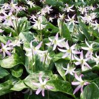 Erythronium 'Hidcote Beauty'