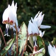 Erythronium 'Snowflake'