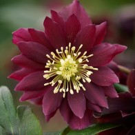 Hellebore Harvington Double Chocolate by Clive Nichols
