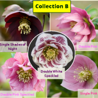 HarvingtonHelleborePlugPlantCollectionB