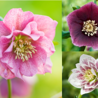 Harvington Hellebores® as Plug Plants