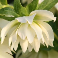 Hellebore Harvington White Double