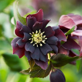 hellebore seeds 39 harvington double purple cascade 39 twelve nunns. Black Bedroom Furniture Sets. Home Design Ideas