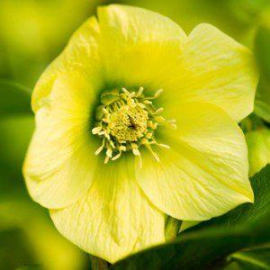 Hellebore Harvington Yellow Single