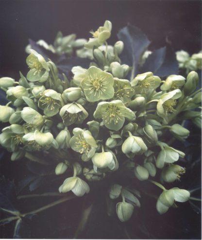 helleborus-argutifolius-corsican-hellebore