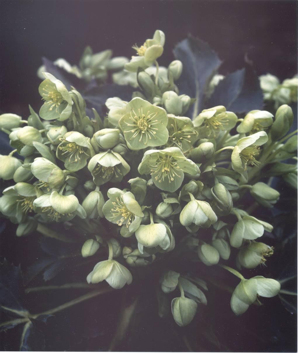 helleborus argutifolius corsican hellebore