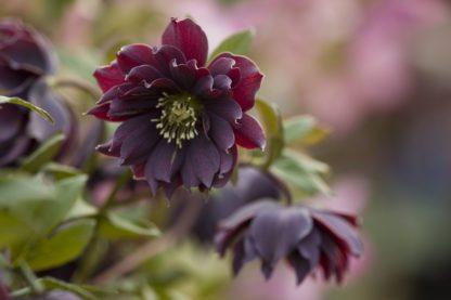 helleborus-hybridus-harvington-double-purple