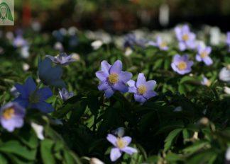 anemone-nemorosa-robinsoniana-agm