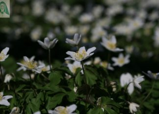 anemone-nemorosa-wisley-selection-AGM