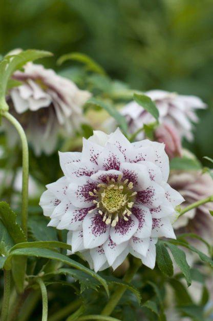 helleborus-hybridus-harvington-double-lilac-speckled