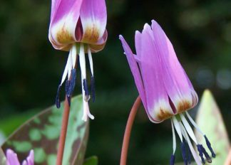 erythronium-dens-canis-old-aberdeen