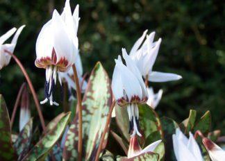 erythronium-dens-canis-snowflake