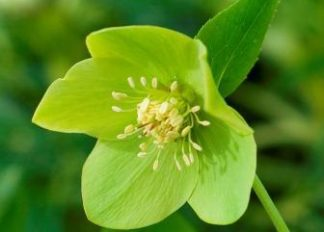 helleborus-hybridus-harvington-single-lime