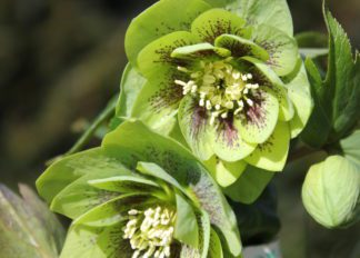 helleborus-hybridus-harvington-double-green-speckled