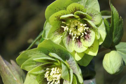 helleborus-hybridus-harvington-double-green-speckled