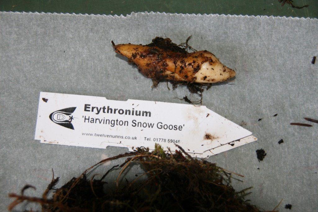 Erythronium 'Harvington Snow Goose' bulb