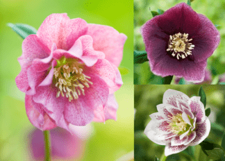 Harvington Hellebores® as Pot Plants