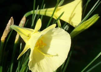 narcissus-bulbocodium-var.-citrinus