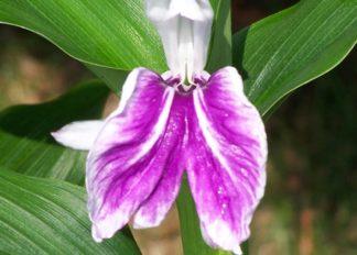 roscoea-purpurea-wisley-amethyst