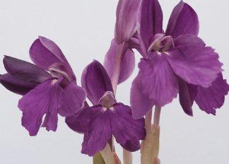 roscoea-humeana-purpleform