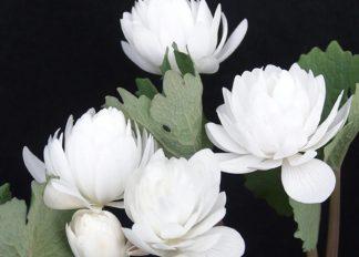sanguinaria-canadensis-multiplex-plena-