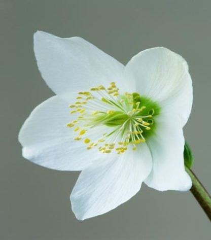 Helleborus niger Christmas Rose 'Harvington hybrids'