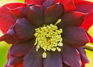 helleborus-hybridus-harvington-double-red