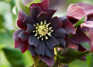 helleborus-hybridus-harvington-double-purple-cascade
