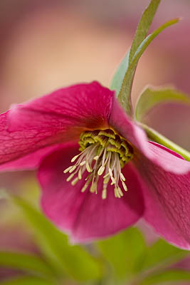 helleborus-hybridus-harvington-single-red