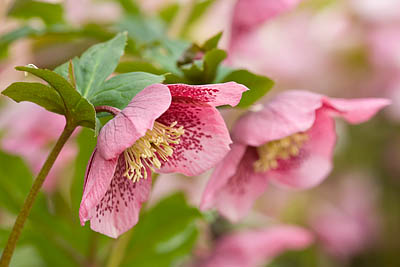 helleborus-hybridus-harvington-single-pink-speckled
