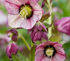 helleborus-hybridus-harvington-single-picotee