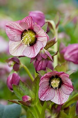 helleborus-hybridus-harvington-single-picotee